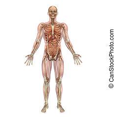 Männliches Skelett und innere Organe mit Muskeln