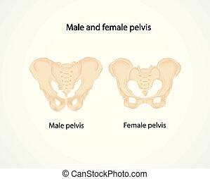 Männliches und weibliches Becken