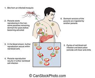 Malaria-Infektion