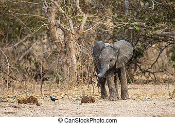 mana, hinten, herde, simbabwe, baby, ungefähr, elefant, lachen, rennender
