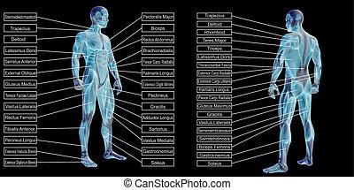 mann, menschliche , 3d, text, koerperbau, muskel