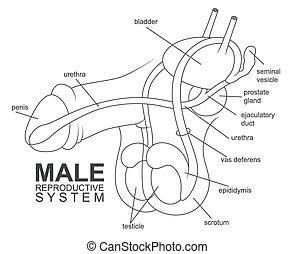 mann, system, reproduktiv