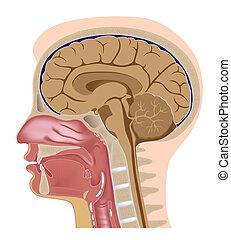 Median-Teil des menschlichen Kopfes, eps8