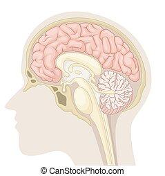 Medianschnitt des menschlichen Gehirns.