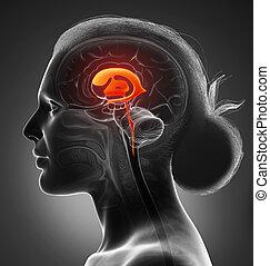 medizin, 3d, übertragung, koerperbau, ventrikel, weibliche , abbildung, gehirn