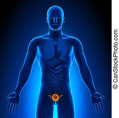 medizin, -, blase, imaging, mann, organe