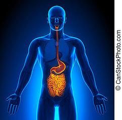 medizin, eingeweide, -, imaging, mann, organe