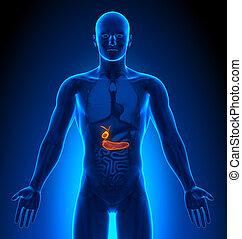 medizin, -, /, gallenblase, imaging, mann, organe, bauchspeicheldrüse