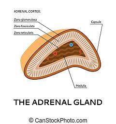 medizin, punkt, ansicht, drüse, schema, abbildung, adrenal