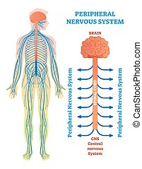 medizin, vektor, schnur, spinal, nerves., gehirn, nervensystem, abbildung, peripher, diagramm