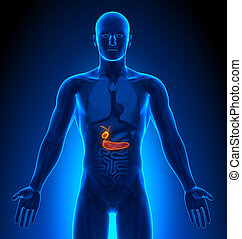Medizinische Bildgebung - männliche Organe - Gallenblase / Bauchspeicheldrüse.