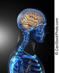 Medizinischer menschlicher Gehirnscan