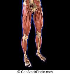 medizinisches konzept, muskel, bein, koerperbau, 3d, abbildung