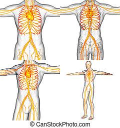 medizinisches system, abbildung, übertragung, menschliche , vaskulär, 3d