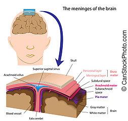 Meninges des Gehirns, Eps8