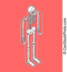 menschliche , abbildung, skeleton., vektor, koerper, durchsichtig, anatomy.