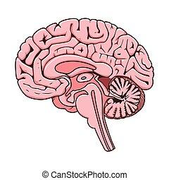 menschliche , abschnitt, gehirn, vektor, schematisch, struktur