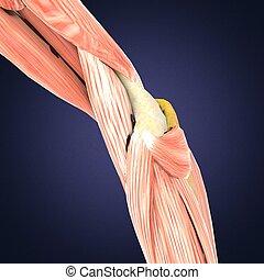 Menschliche Anatomie. Beine, Wadenmuskeln, Knie. 3D Illustration.