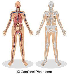 Menschliche Anatomie der Frau