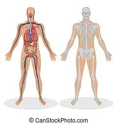 Menschliche Anatomie des Menschen
