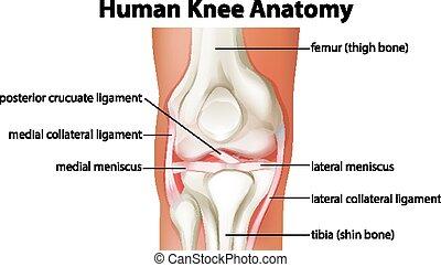 menschliche anatomie, diagramm, knie