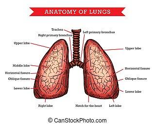 menschliche anatomie, hilfe, schema, vektor, medizinprodukt, lungen
