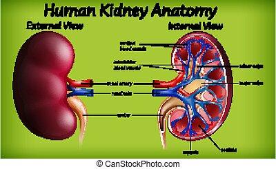 menschliche anatomie, medizin, niere