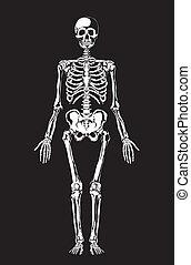 Menschliche Anatomie. Skeleton