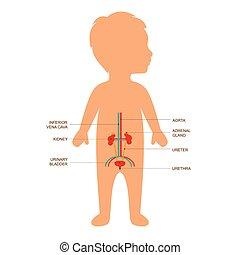 menschliche anatomie, system, harn