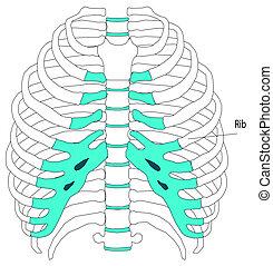 Menschliche Anatomie-Torso-Skelett