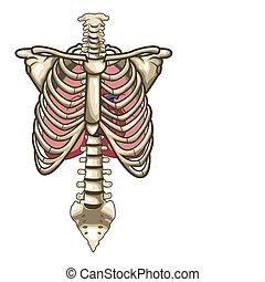 Menschliche Anatomie-Torso-Skelett isolierter weißer Hintergrund