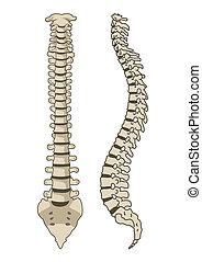 Menschliche Anatomie Wirbelsäulensystemvektoren.