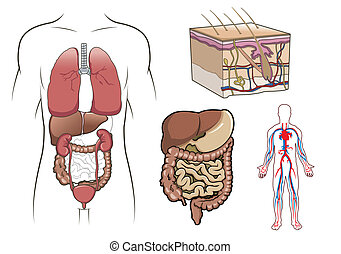 Menschliche Anatomievektor