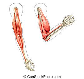 Menschliche Arm-Anatomie-Diagramm, zeigt Knochen und Muskeln beim Flexing. 2D digitale Illustration auf weißem Hintergrund.