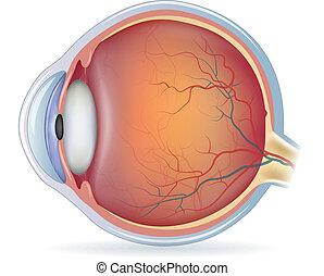 Menschliche Augenanatomie