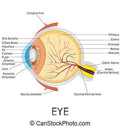 Menschliche Augenanatomie.