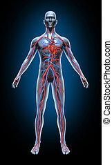 Menschliche Blutzirkulation