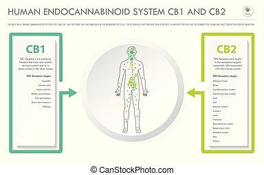 menschliche , cb2, cb1, geschaeftswelt, system, horizontal, endocannabinoid, infographic