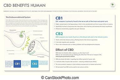menschliche , cbd, infographic, horizontal, geschaeftswelt, vorteile