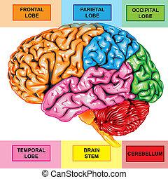 Menschliche Gehirn-Nachsicht