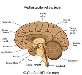 Menschliche Gehirnanatomie, Eps8