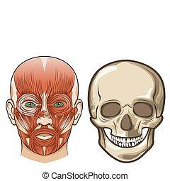 Menschliche Gesichts-Anatomy und Schädel in Vector