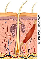 Menschliche Haarstruktur anatomische Illustration. Vector