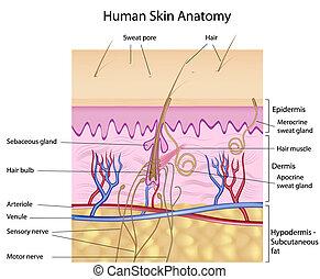 Menschliche Haut-Anatomy