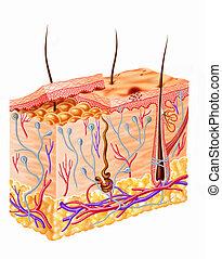 Menschliche Haut-Diagramm