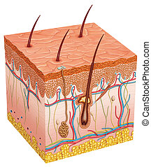 Menschliche Haut
