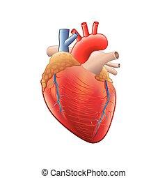 Menschliche Herzanatomie isoliert auf weißem Vektor.