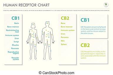 menschliche , infographic, horizontal, geschaeftswelt, rezeptor, tabelle