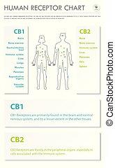 menschliche , infographic, senkrecht, geschaeftswelt, rezeptor, tabelle