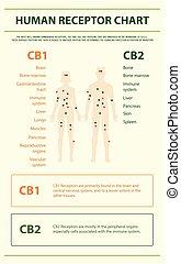 menschliche , infographic, tabelle, rezeptor, senkrecht